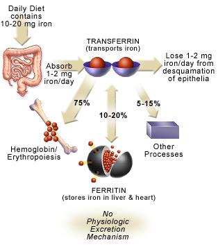 Metabolismo del hierro II